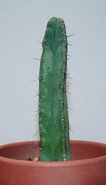 220px-Echinopsis lageniformis.jpg