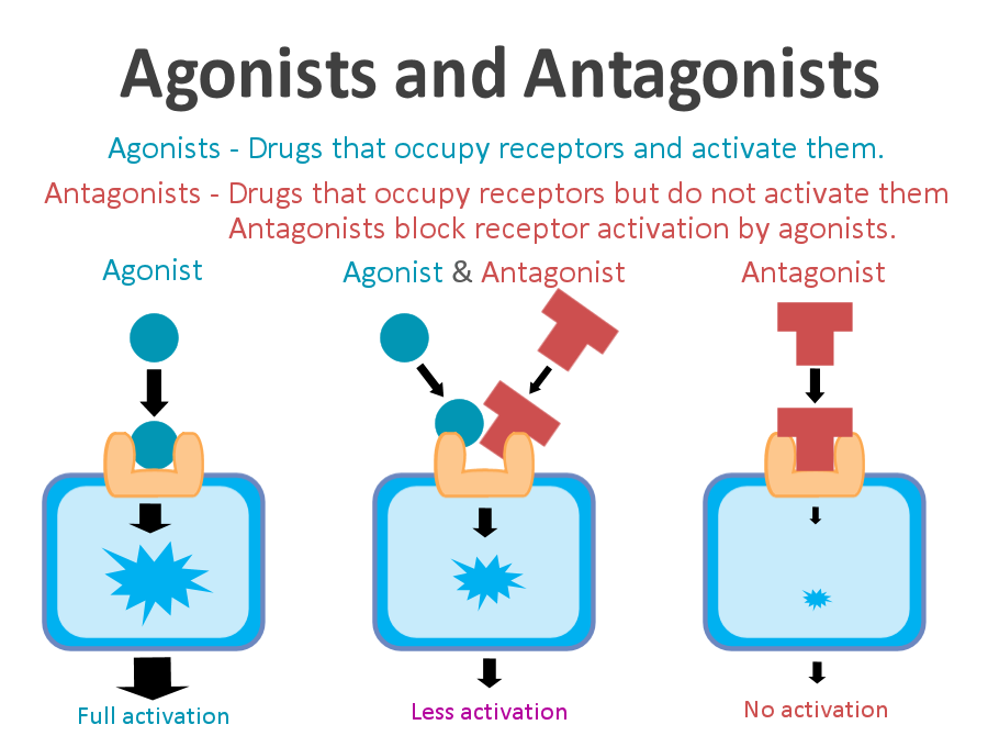 Agonist definition, types and quiz | biology dictionary.