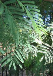Acacia-berlandieri-flowers4.jpg