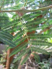 Acacia-seyal-leaves.jpg