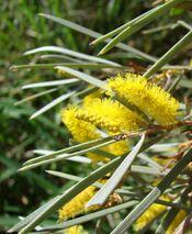 Acacia aneura blossom.jpg