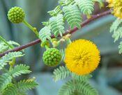 Acacia constricta flower.jpg