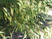 Acacia falcata Eastwood.jpg