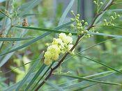 Acacia melanoxylon2.jpg