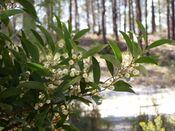 Acacia melanoxylon branch.jpg