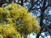 Acacia prominens 3.jpg