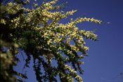 Acacia rigidula.jpg