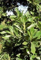 Acacia simplex.jpg