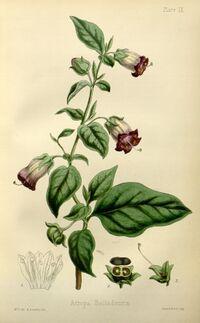 Atropa belladonna.jpg