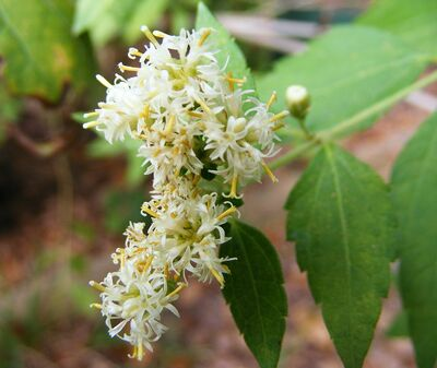 Calea ternifolia.jpg