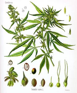 Cannabis (Botany).png