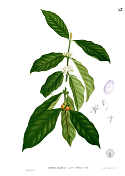Coffea Arabica.png