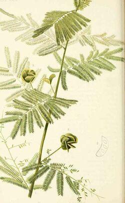 Desmanthus illinoensis.jpg