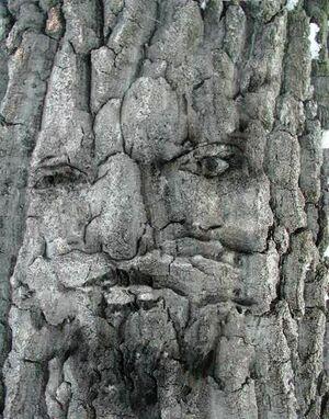 Face within tree bark.jpg