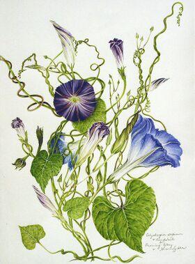 Ipomoea tricolor (Botany).jpg