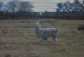 Llama by Chelsea Morgan.jpg