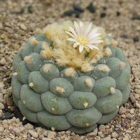Lophophora-fricii-albiflora.jpg