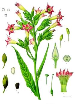 Nicotiana Tabacum.png