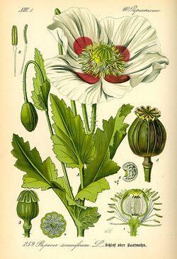 Papaver somniferum (Botany).jpg