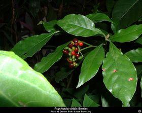 Psychotria viridis berry.jpg